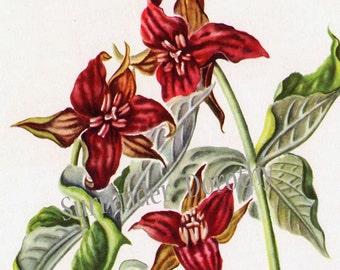 Red Trillium Flowers Vintage Botanical Print Wildflowers 1950s Perfect For Framing 26