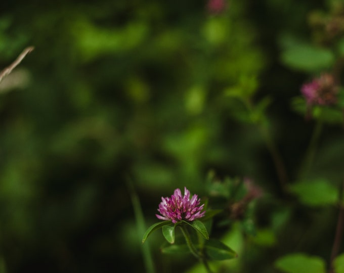 RED CLOVER flower essence - vibrational elixir