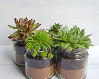 Sempervivum / Succulent Glass Jar Favours (Set of 4 Medium with Sand Layer) - Gifts, Wedding Favours, Baby Shower Favours