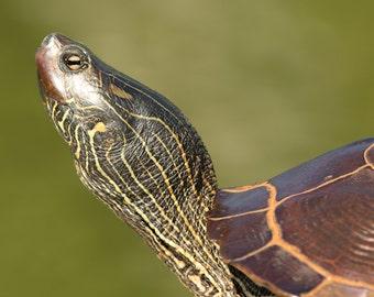 Turtle Sunning, Size 16x20 inches, Turtle Photo, Turtle Art