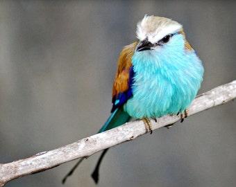 roller blue bird photo, bird photographs, animal photo, wall decor, fine photography, office decor, Nature photograph, art & collectibles,