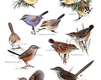 Vintage Bird Print - Ruby Crowned Kinglet, Streaked Scrub Warbler, Karoo Prinia, Tit Warbler, Goldcrest - 1990 Vintage Book Page - 11 x 9