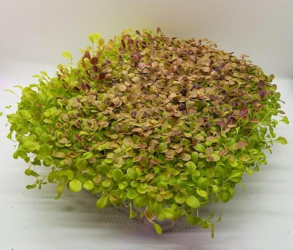 Red Lettuce Microgreen Kit, 5 Crops