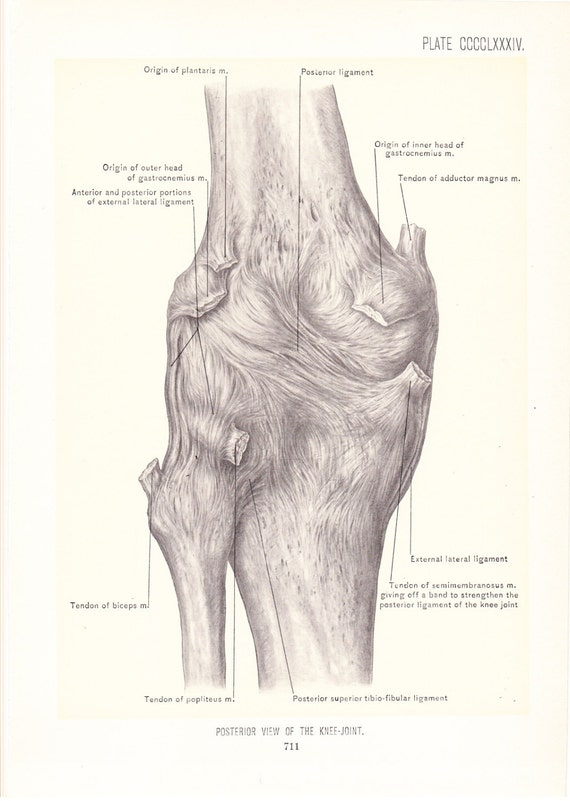 1899 Human Anatomy Print Posterior View of Knee Joint