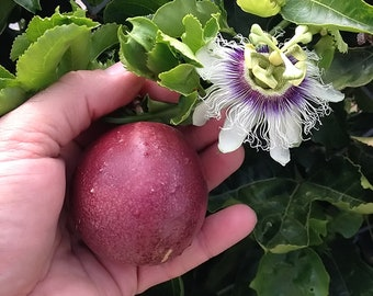 Passiflora Edulis  'Red Rover' - Red Passion Fruit Plant - 4 to 5 Feet Long - Lot Of Branches - Ship in 3 Gal Pot