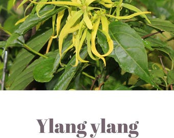 Ylang ylang essential oil QRDS