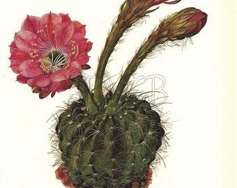 Cactus Print,  Botanical Print, Art Print, Home Decor, Book Plate, Illustration, Wall Decor, Pseudolobivia kermesina, A-14