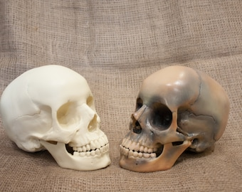 A human skull for art and decor. Replica of a real skull for Halloween