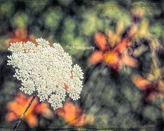 Queen Anne's Lace - Queen of the Backroads - Wild Flower - Nature - Countryside - Fine Art Photography