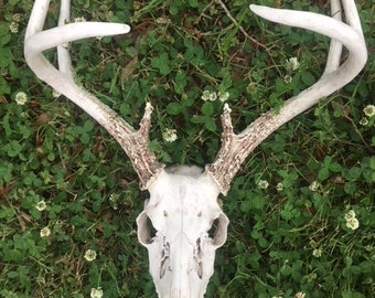 White-tailed deer skull with antlers(8 points)