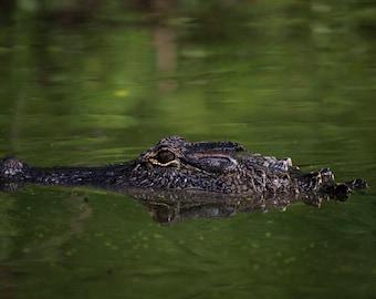 Alligator Swamp Swim Nature Photography Print
