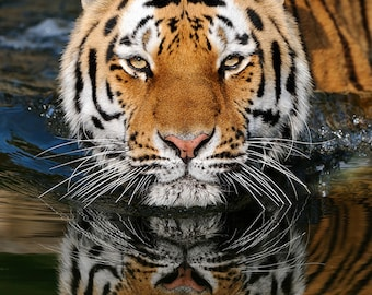 Tiger Reflection (Art Prints available in multiple sizes)