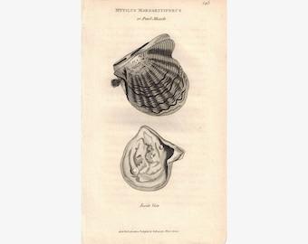 Pearl Muscle Mytilus Margaritiferus Shell 1809 Original Engraving Shaw
