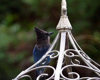 Steller's Jay Note Card.  All occasion, blank inside.