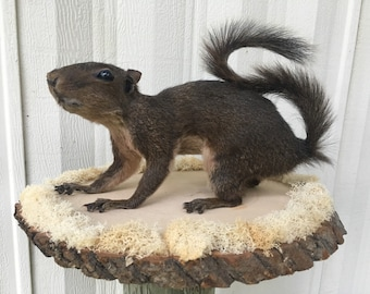 Full Body Grey Squirrel Taxidermy Mount - Brown Coloring