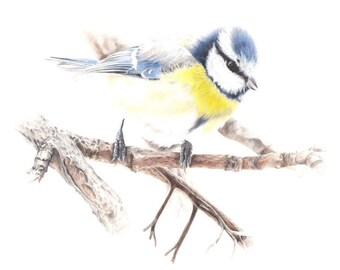 Bluetit - archival giclee print - British wild bird - A4 size - bird art - coloured pencil bird drawing - wildlife art - landscape art print