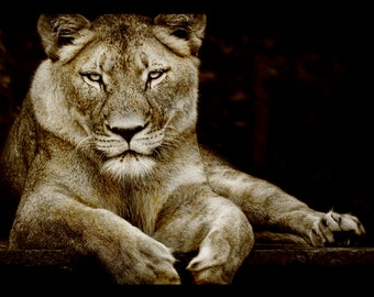 Sepia Lioness Print, Nature Photography, Animal Photo, Lion,  Zoo, African, Fine Art Photography, 5x7, 8x10, 11x14