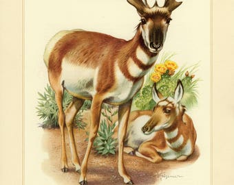 Vintage lithograph of the pronghorn from 1956
