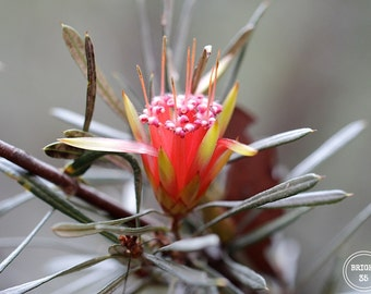 Lambertia Formosa, Australian Flower Photography, Fine Art Photography,Wild Flower Photography, Red Flower photo, Blue Mountains Photography