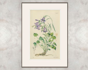 Bellflower: Rare Antique Hand Colored Botanical Book Plate, Flora of the Riviera, 1871/29, Mediterranean Plant, Campanula macrorhiza
