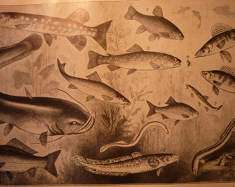 Vintage German Fish School - 1910 in German - Fishe Susswasserfische lithograph - fine detail - lovely - gift for aquarium lovers aquatic