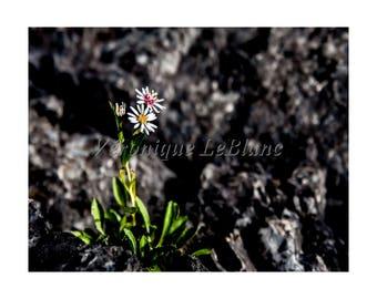 Small Daisy