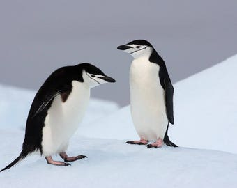 Two Chinstrap Penguins communicating on the top of a iceberg in Antarctica