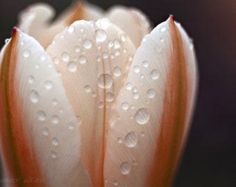 Tulip Macro - 8 x 10 Fine Art Photograph