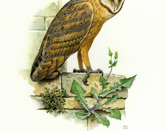 Vintage lithograph of the barn owl from 1956