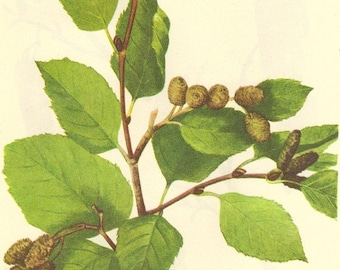 Vintage 1968 Color Print Wild Flowers of America Book PLATE 94 95 96 Mountain Alder and Snow Willow Smoth Alder