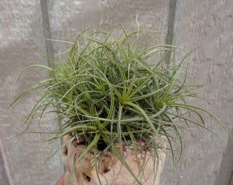 Tillandsia Aeranthos Hybrid Ball/Clump Air Plants