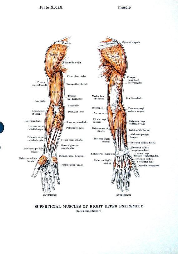 Muskeln des Arms Muskeln des Jahrgangs 1974 Trunk Anatomie