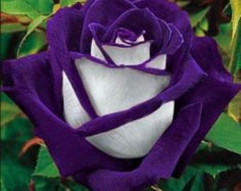 Purple white rose flower seeds,370,purple heart white rose,flower roses seeds, roses from seeds,planting roses,growing roses from seeds