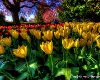 Photo Art - Flower Photography - Fine Art Photography - Tulips - Flowers - Tulip Festival -  RoozenGaarde - 16 X 24 -  Prints
