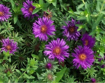 Aster etsy purple dome new england aster flowerovides color and contrast to the fall perennial border mightylinksfo