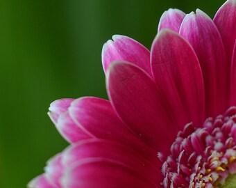 Flower Photograph, Pink Gerbera Daisy Picture, Pink and Green Fine Art Floral Photography, Vertical Wall Art, Gerber Daisy Photo Print