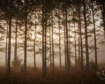 Morning Light Through the Pines Print