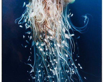 Color Photography - Fine art print - blue jellyfish with long tails underwater.