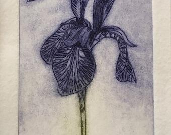 Iris Print - Original Limited Edition Etching, Hand printed Iris, Iris etching, Iris picture, original print, limited edition iris print