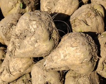 Beet Sugar (30 thru 25 LB seeds) Save Giant White Beet for Plot & Survival! C16