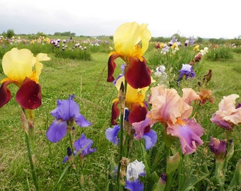 LOT OF 100 Mixed lot IRIS Old Heritage & New Hybrids healthy rhizomes Ship now!