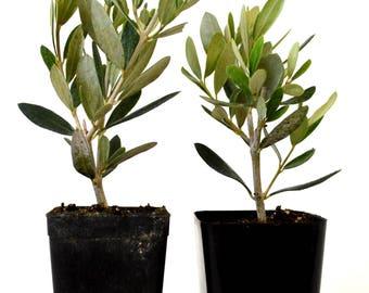 Olive Tree - Tree of Peace - Olea europaea - 2 Pack