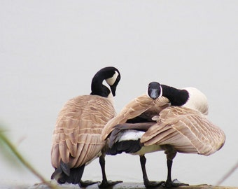 Canadian Geese on the Willamette River