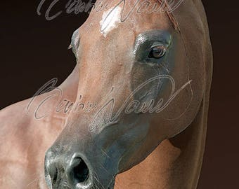 Immediate download photo - arabian horse - free use - hd print - picture - poster - horses - animals - print as you wish