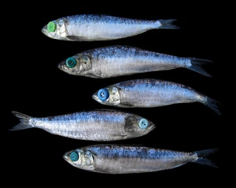 Fish Print - Go Your Own Way Sardines Photograph - Surreal Art - Independence Photography