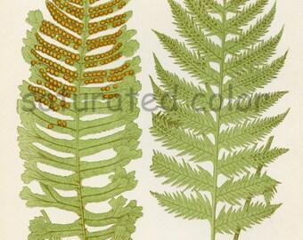 Antique Fern Chromolithograph Original Print - Green Fern Frond - Antique 1874 Edward Lowe Fern - No.7 - woodland flora