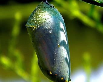 Monarch Butterfly Chrysalis Fine Art Photograph Home Decor