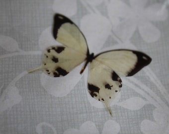 transparent Butterfly beige and black 3.5 x 2.5 cm, n134