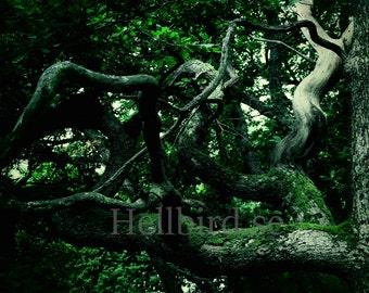 Half dead, old oak tree. Wall Art, Photography, Printable, Digital Instant Download Art Photo