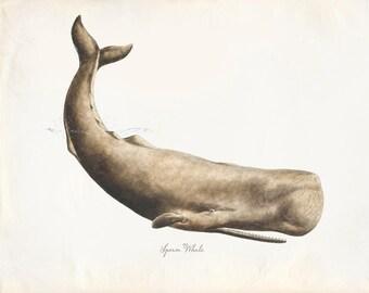 Vintage Mammal Sperm Whale Print 8x10 P220
